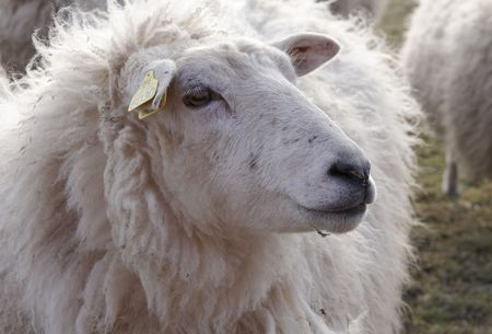 conjecture: Sheep