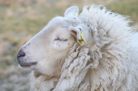 herdsman: Sheep
