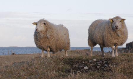 Two Sheep photo