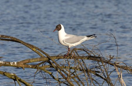 h5n1: Black-headed Gull.