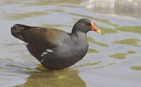 Moorhen in the water photo