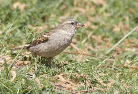 Sparrow  Stock Photo - 3108512