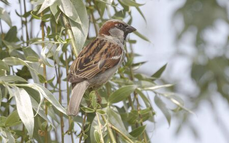 h5n1: House Sparrow in the tree