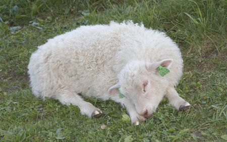 herdsman: Sleeping lamb Stock Photo
