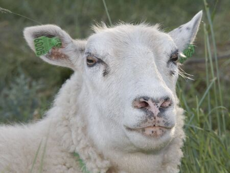 conjecture: Sceptical sheep
