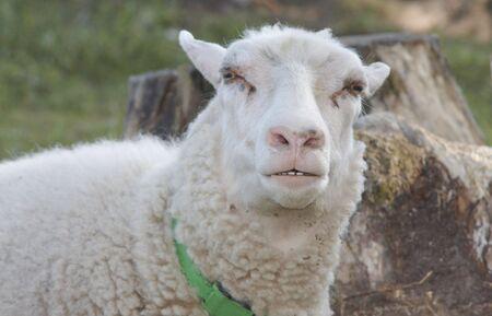 sceptical: Sceptical sheep. Stock Photo