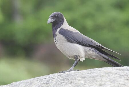 lingo: Crow Stock Photo