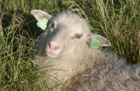 Lamb resting in the grass photo