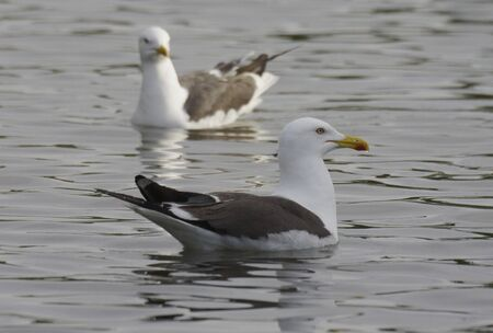 h5n1: Sea gull Stock Photo
