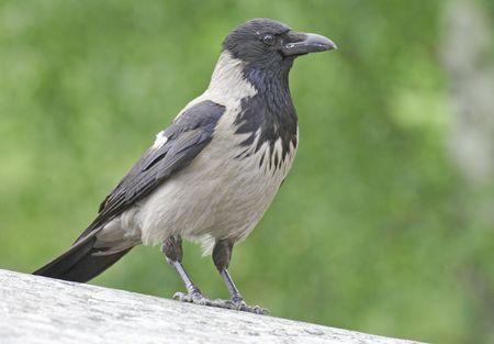 h5n1: Hooded Crow in profile.