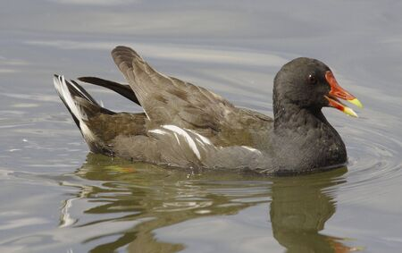 h5n1: Moorhen swiming