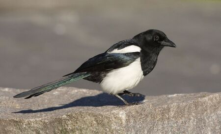 the magpie: Magpie in the profile.