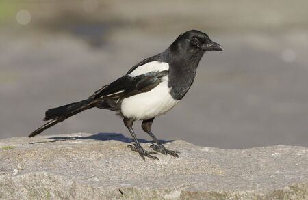 h5n1: Magpie on the ground