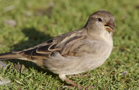 affliction: House Sparrow in the grass