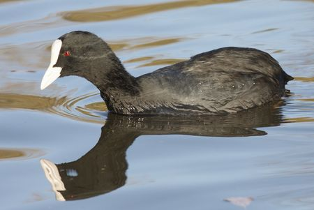 coot: Commen coot with mirror