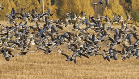 Barnacle Goose in take off photo
