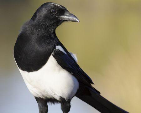 the magpie: Big magpie