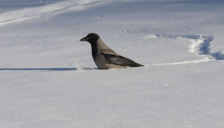 lingo: Hooded Crow in the snow