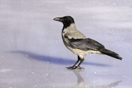lingo: Hooded Crow.