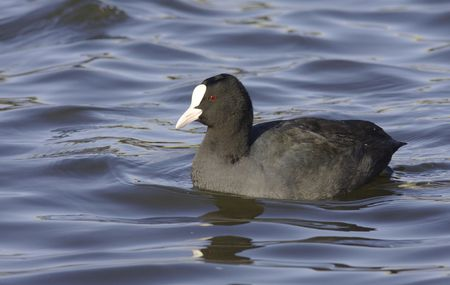 coot: Common Coot.