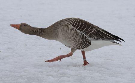 migrating: Greylag Goose.