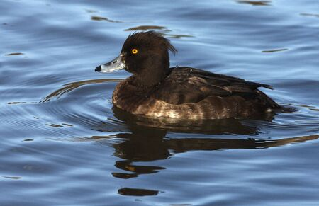 div: Tufted Duck