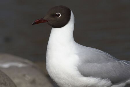epidemic: Black-headed Gull.