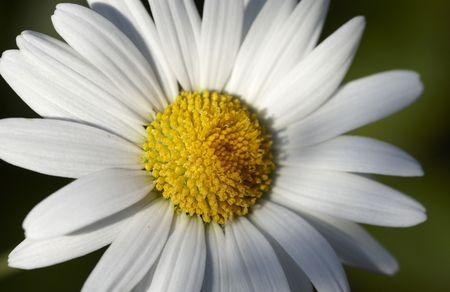 Oxeye daisy photo