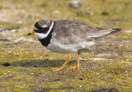 plover: Ringed Plover Stock Photo