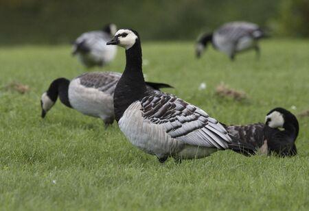 Barnacle goose photo