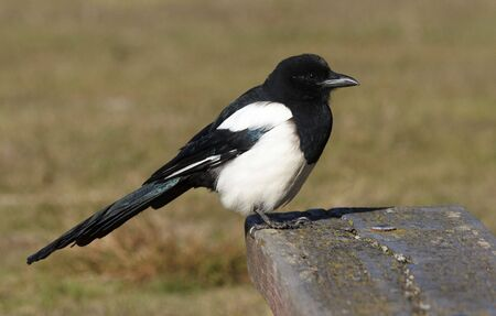 the magpie: Magpie Stock Photo