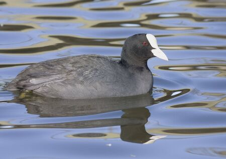 coot: Common Coot