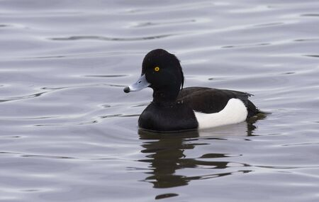 tufted: tufted duck Stock Photo