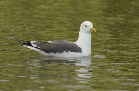 h5n1: Seagull Stock Photo