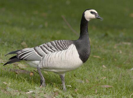 bird flu: Barnacle goose Stock Photo