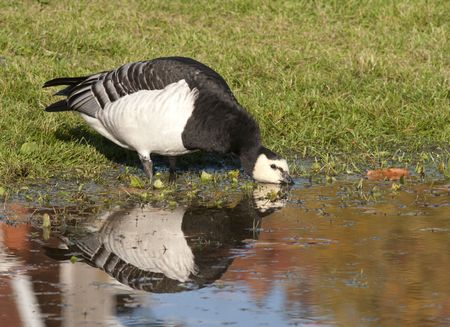 barnacle: Barnacle goose Stock Photo