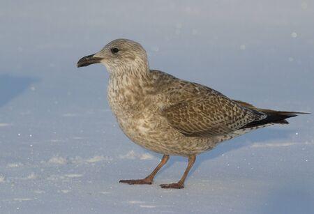 Seagull on the ice photo