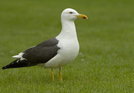Lesser Black-backed Gull photo