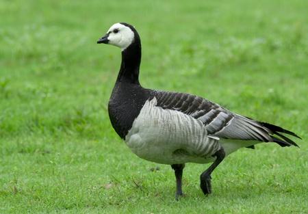 Barnacle goose in the rain