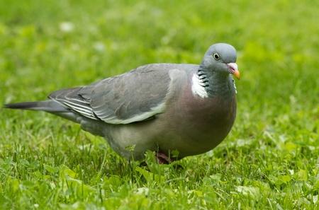 homing: Wood Pigeon