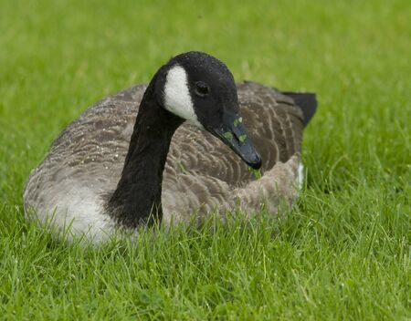 Canadian Goose in the grass photo