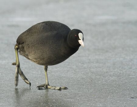 Common Coot on the ice Stock Photo - 11703477