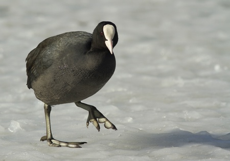 Common Coot walking on the ice Stock Photo - 12578478