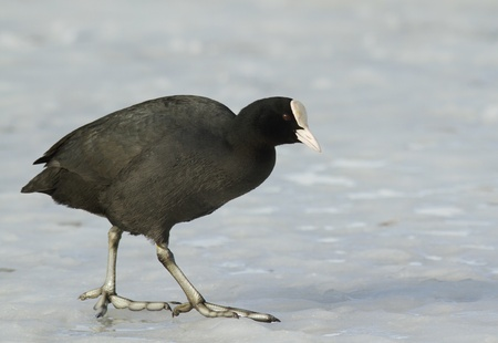 keen: Common Coot walking on the ice Stock Photo