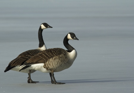 Canadian Goose on the ice photo