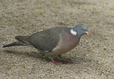 pidgeon: Wood Pigeon