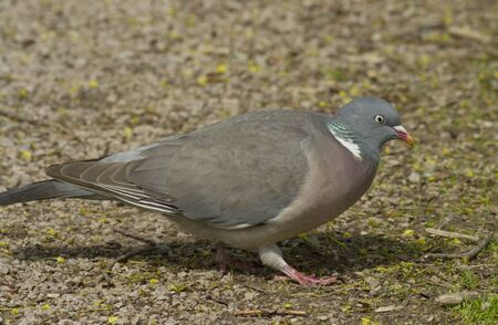 Wood Pigeon photo