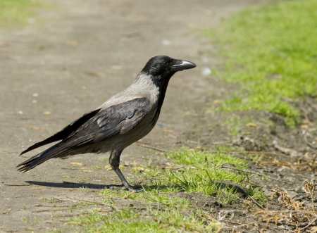 lingo: Hooded Crow