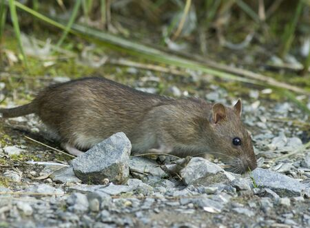 noxious: Brown rat Stock Photo
