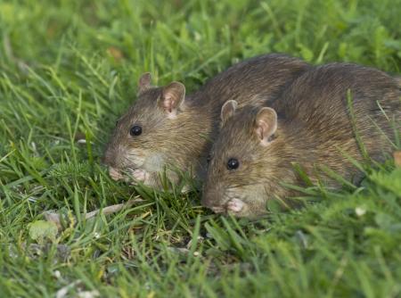 defilement: Brown rat Stock Photo